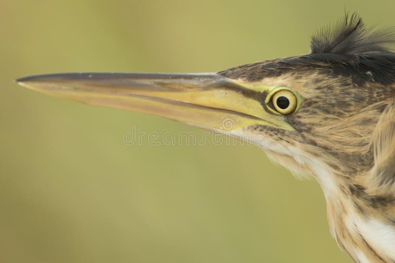 Птица общей выпи одичалая! стоковое фото