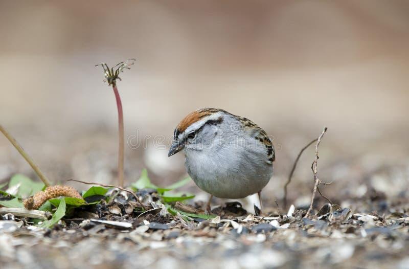 Птица откалывая воробья есть семена в траве, Афинах GA, США стоковые фото