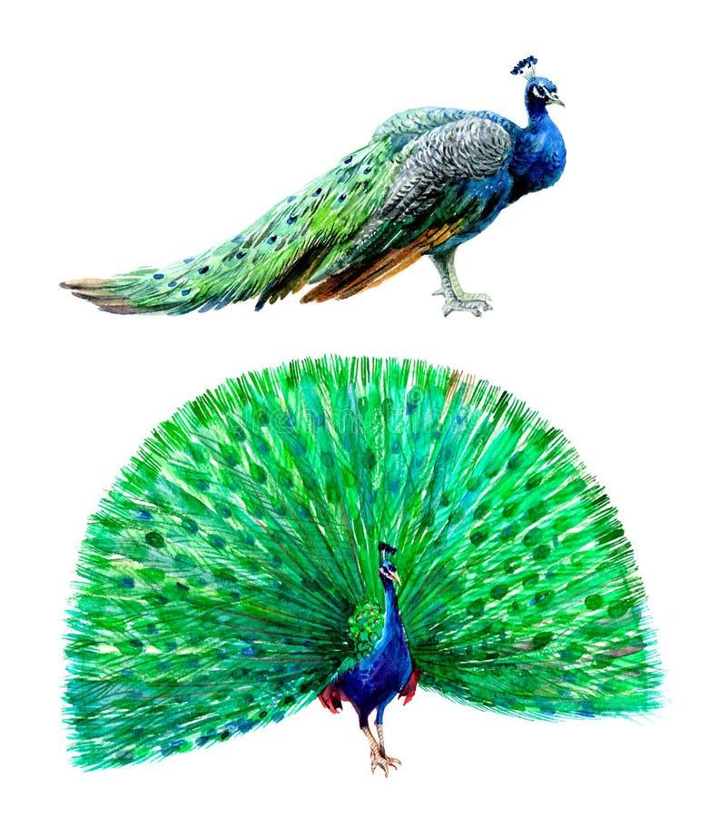 Птица павлина акварели изолированная на белой иллюстрации предпосылки иллюстрация вектора