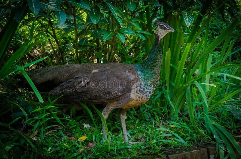 Птица павлина стоковое изображение