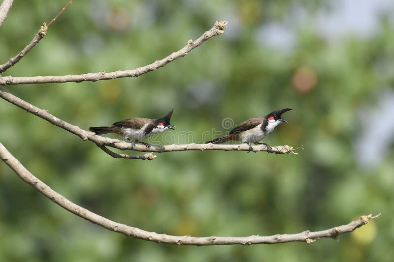 Птица: Пары красного Bulbul Whiskered садить на насест на ветви стоковое изображение rf