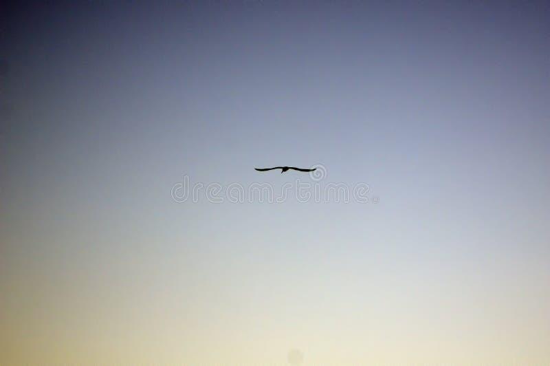 Птица парящая на заходе солнца, мола Busselton, WA, Австралия стоковые изображения