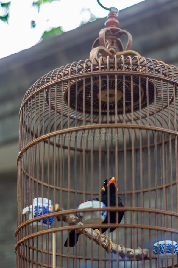 Птица Пекин Starling стоковые фотографии rf
