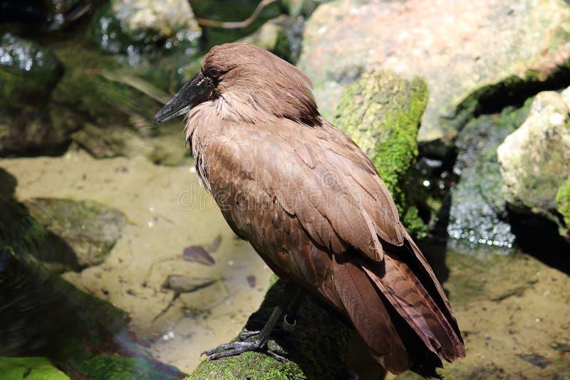 Птица пера Брайна в пруде стоковые изображения