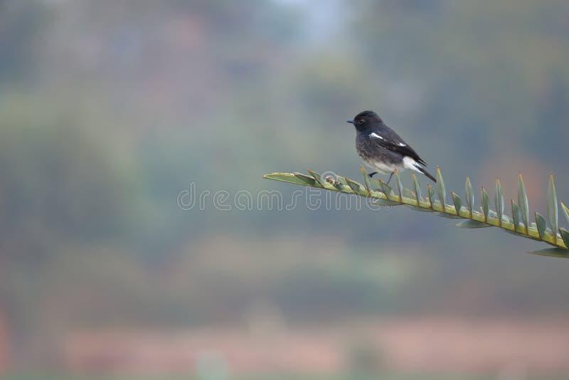 Птица пестрого bushchat мужская стоковые фотографии rf
