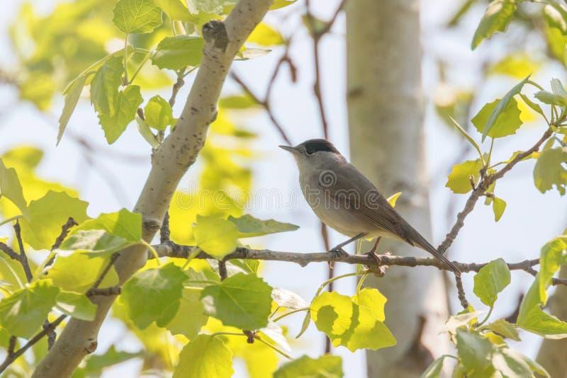Птица петь atricapilla Сильвия Blackcap, евроазиатский blackcap стоковое фото rf
