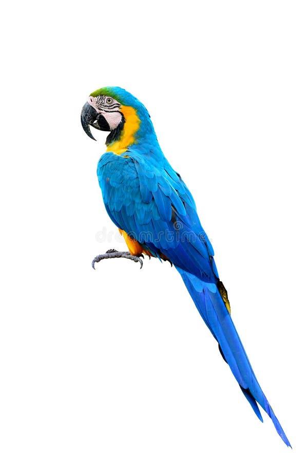 Птица попугая ары сини и золота с пер деталей главных wi иллюстрация штока