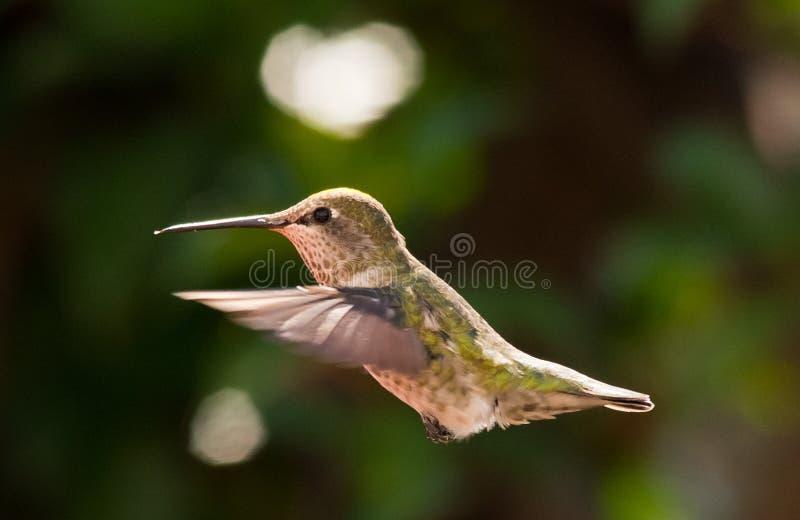 Птица припевать в среднем воздухе стоковое фото rf