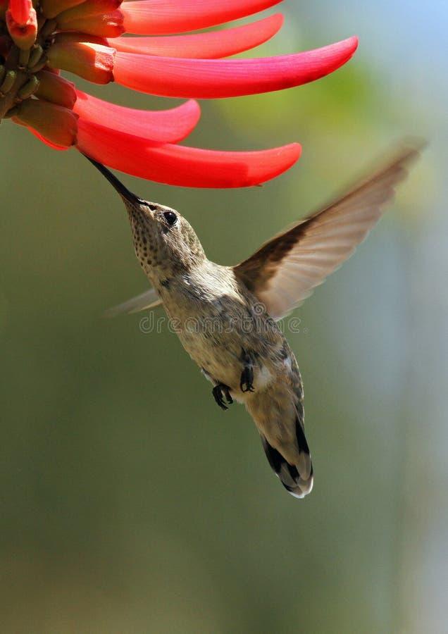 птица припевая стоковая фотография