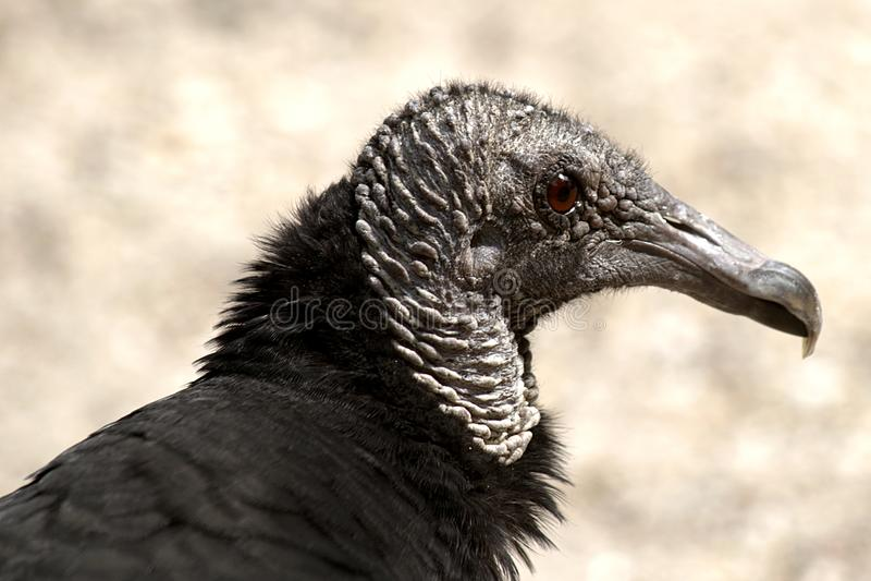 Птица разбойничества в портрете стоковое изображение rf