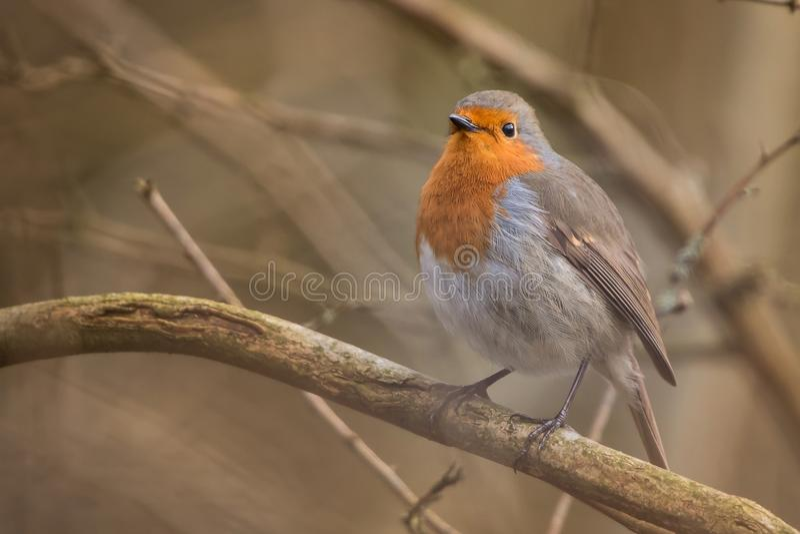 Птица Робина Rubecula Erithacus стоковые фотографии rf