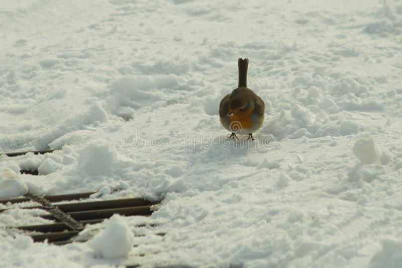 Птица Робин в сезоне зимы льда снега стоковые фотографии rf