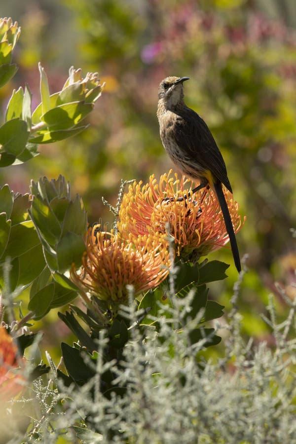 Птица сахара накидки, мужчина, cafer Promerops, сидя вертикально на оранжевом цветке Protea валика Pin, голова повернула для того стоковые изображения