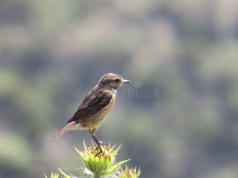 Птица садить на насест на thistle стоковые изображения rf
