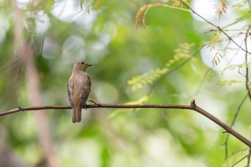 Птица (Сине-и-белая мухоловка) на дереве стоковое фото rf