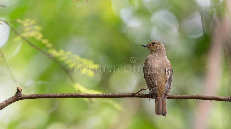 Птица (Сине-и-белая мухоловка) на дереве стоковые фотографии rf