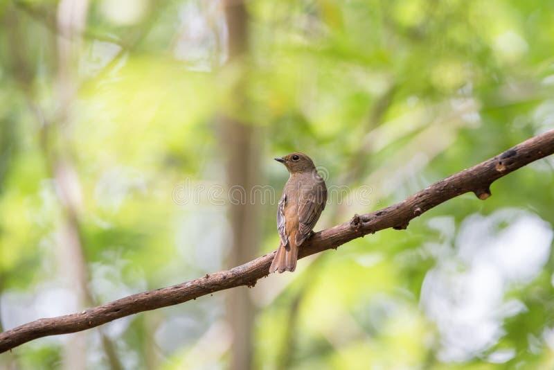 Птица (Сине-и-белая мухоловка) на дереве стоковые изображения