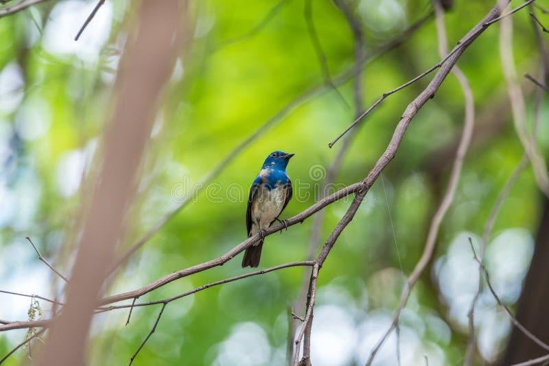 Птица (Сине-и-белая мухоловка) на дереве стоковые фото