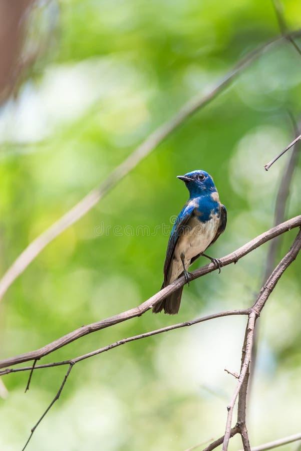 Птица (Сине-и-белая мухоловка) на дереве стоковые изображения rf