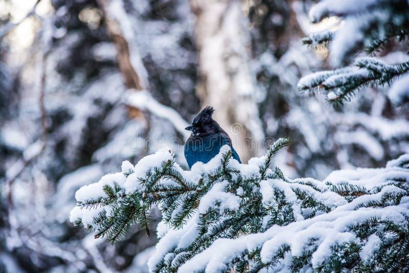 Птица снега в Аляске стоковые изображения
