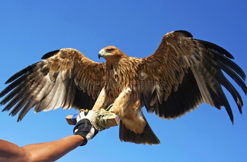Птица сокола. стоковые фото