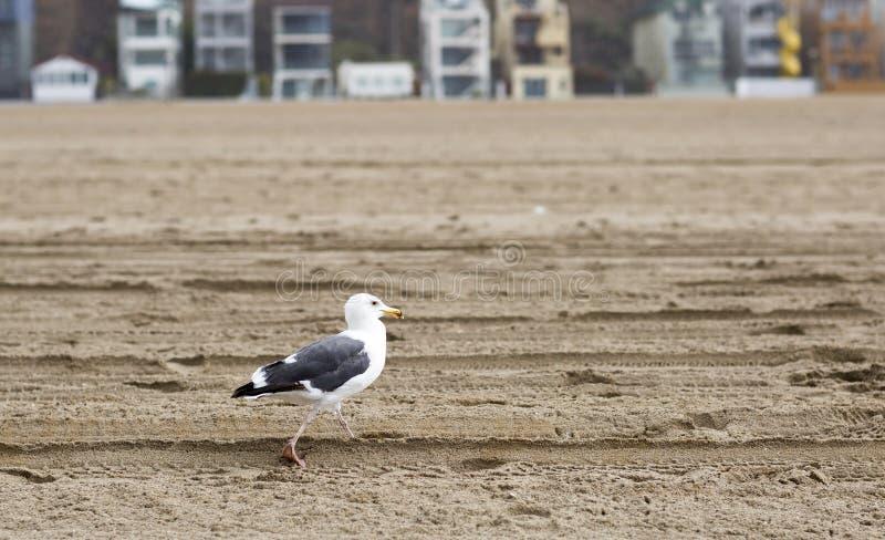 Птица стоит на береге Тихого океана стоковое изображение rf