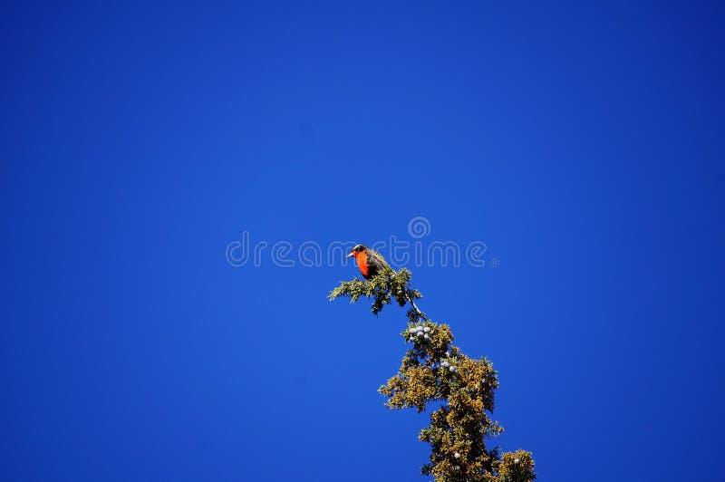 Птица с красной грудью na górze дерева стоковая фотография rf