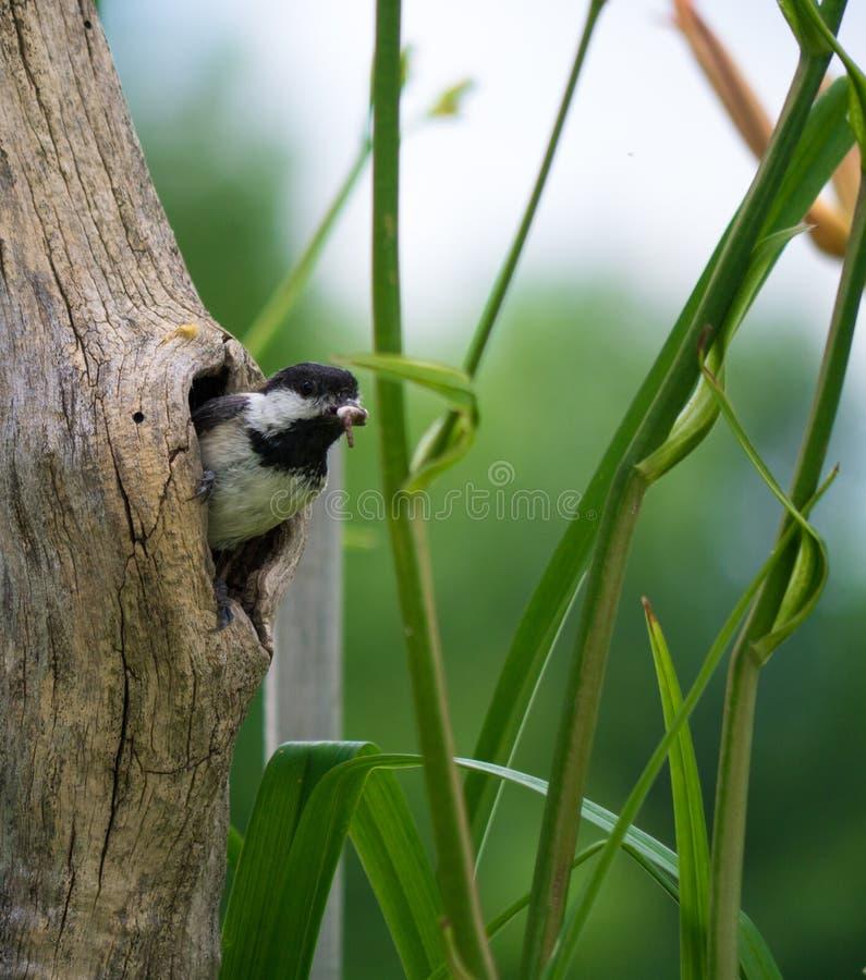 Птица с насекомым в отверстии в дереве стоковые изображения