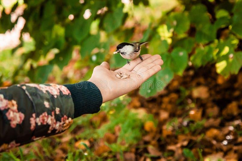 Птица с семенем в ем клюв ` s сидит на руке стоковые изображения rf