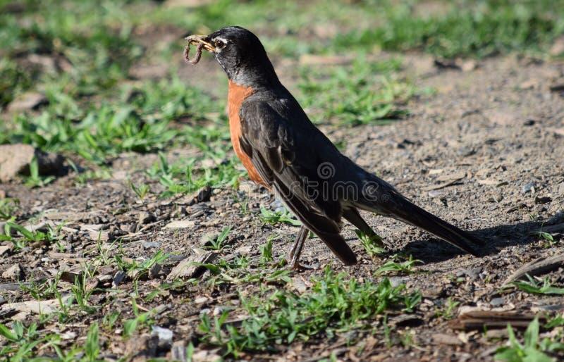 Птица с червем стоковая фотография