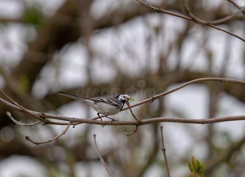 Птица с червями на ветви стоковая фотография