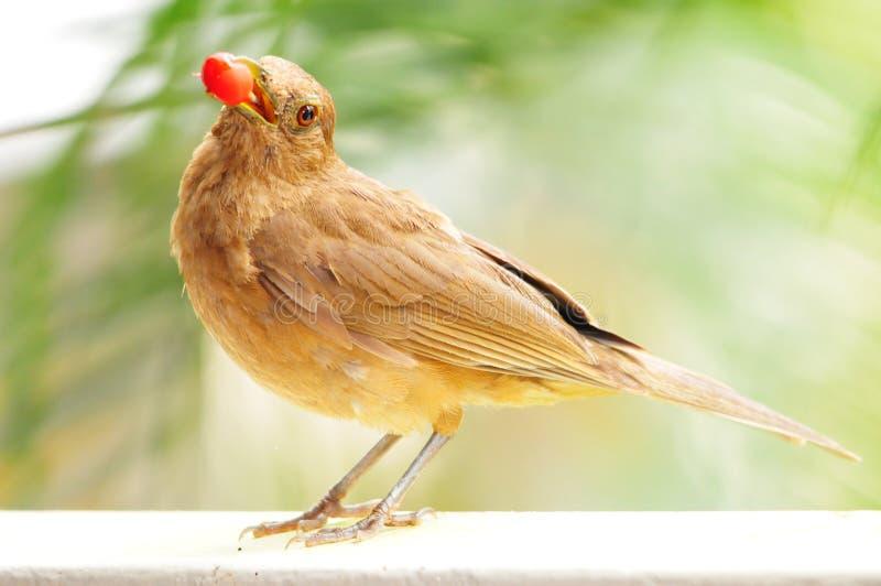 Птица с ягодой стоковые фотографии rf