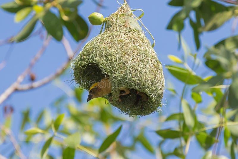 Птица ткача Baya при желтая голова садясь на насест на своих наполовину построенных привесных гнездах стоковая фотография