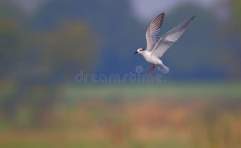 Птица тройки Whiskered стоковое фото rf