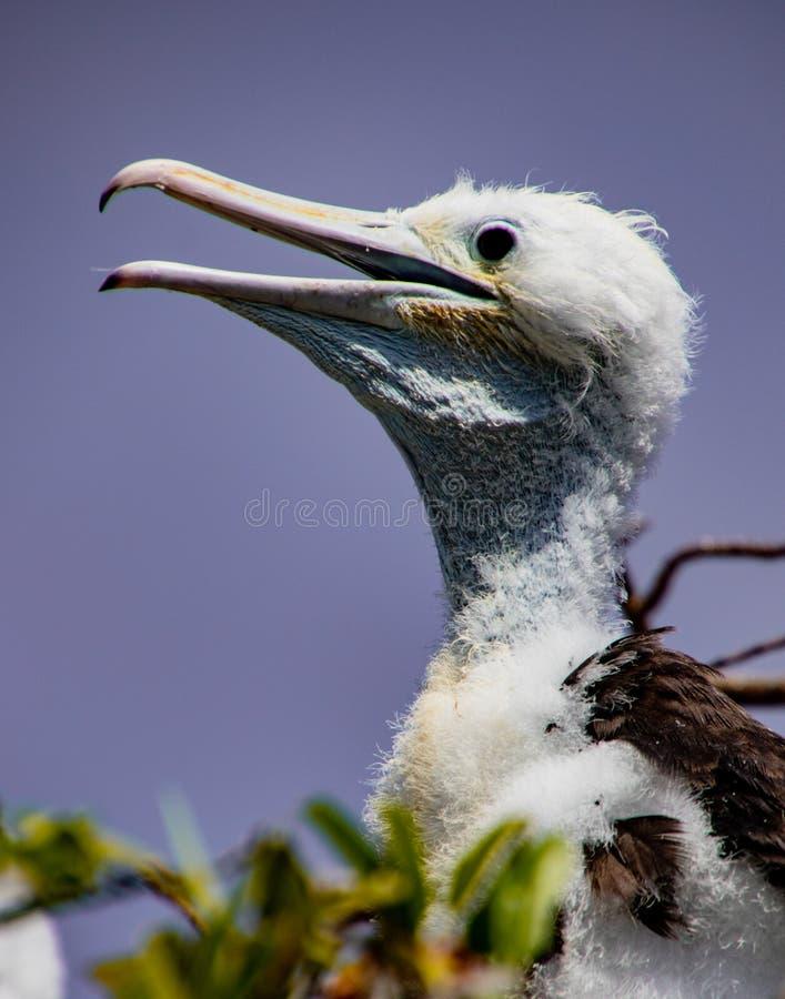 Птица фрегата Babby ждет родителя для того чтобы возвратить стоковое фото