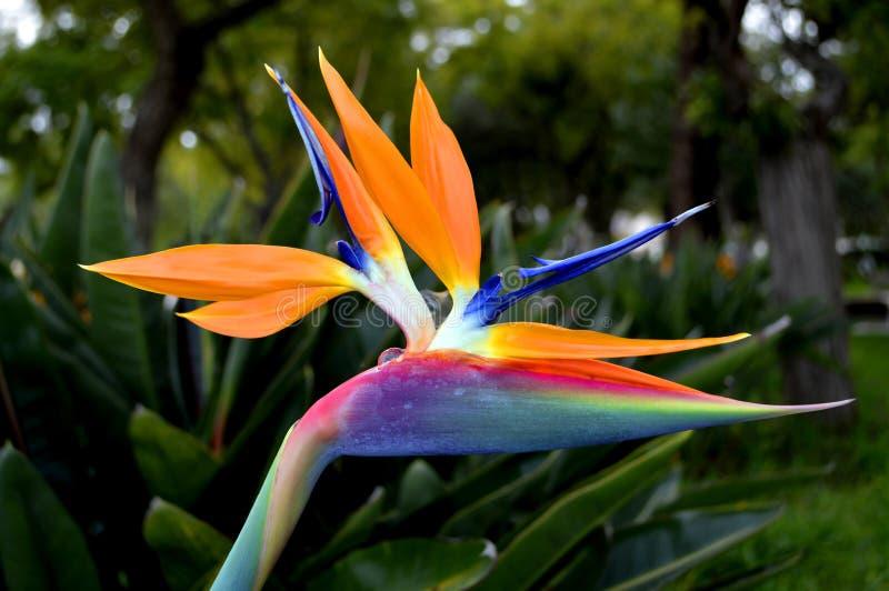 Птица цветка рая стоковое изображение rf