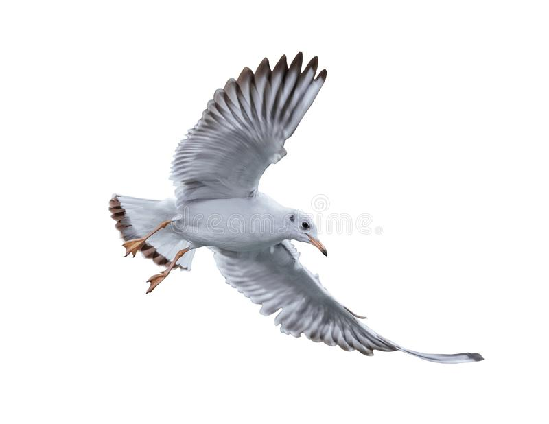 Птица чайки в полете стоковое фото