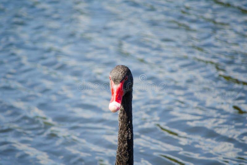 Птица черного лебедя показывая свою красивую длинную шею пока плавающ в пруде на парке Сиднея, Австралии стоковое изображение