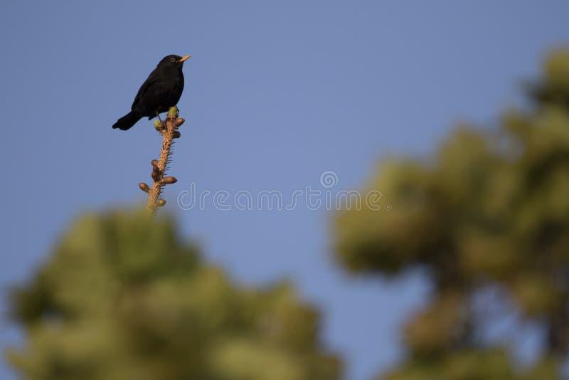 Птица черной птицы одичалая! стоковое изображение
