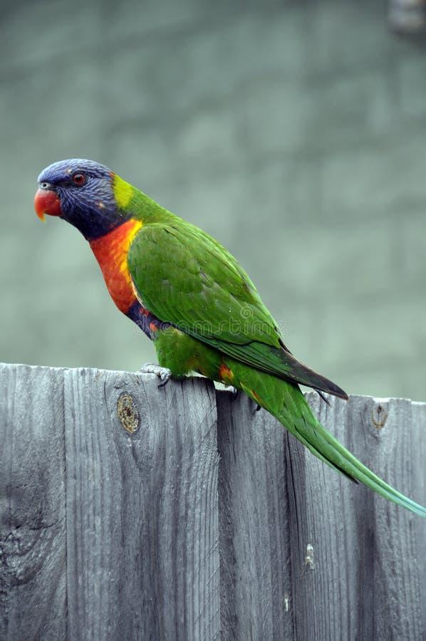 Птица Asutralina moluccanus Trichoglossus Lorikeet радуги стоковые изображения