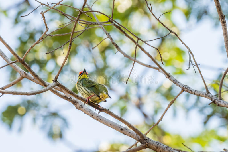 Птица Barbet Coppersmith стоковая фотография rf