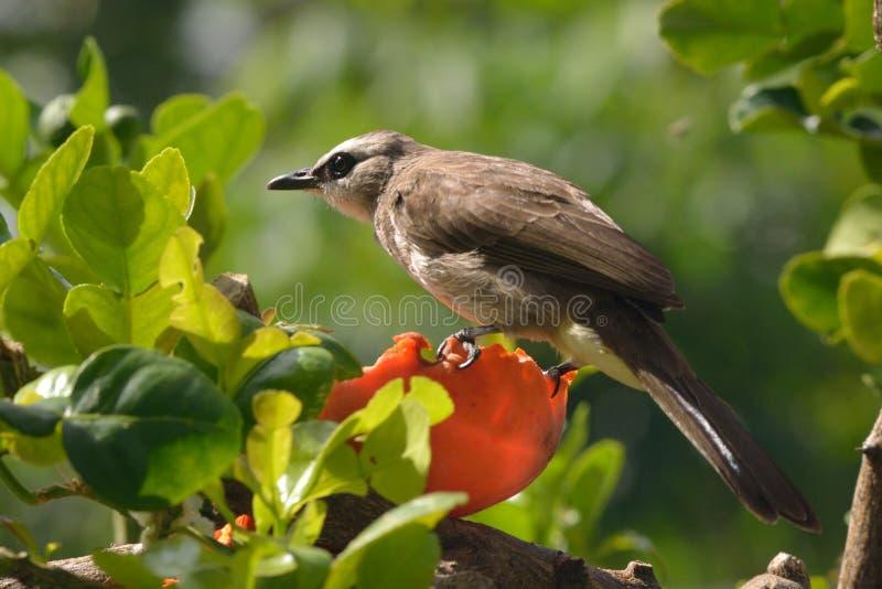 Птица Bulbul на упаденной папапайе стоковая фотография