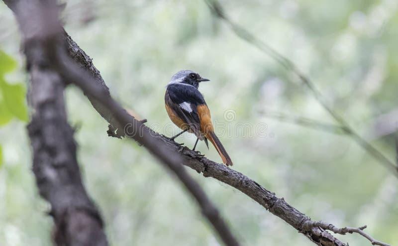 Птица Daurian Redstart стоковые изображения