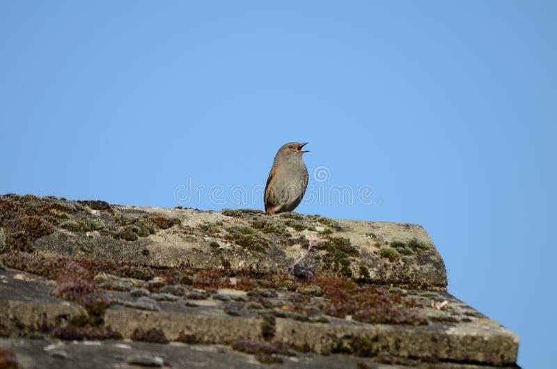 Птица, Dunnock, поя от крыши, клюет широко открытое стоковое изображение