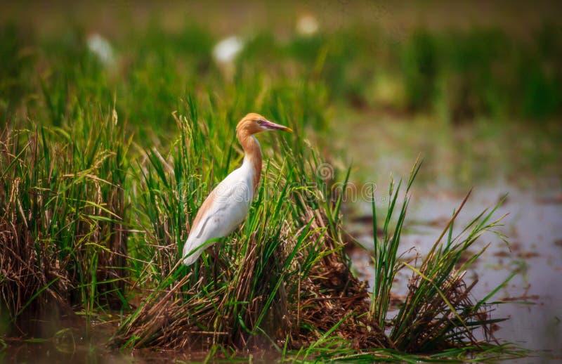 птица egret скотин стоковая фотография