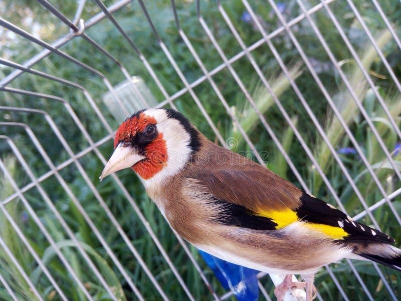 Птица goldfinch стоковые изображения rf