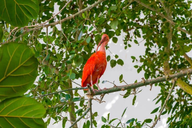 Птица Ibis шарлаха, ruber Eudocimus, тропический wader в биосфере стоковые изображения rf