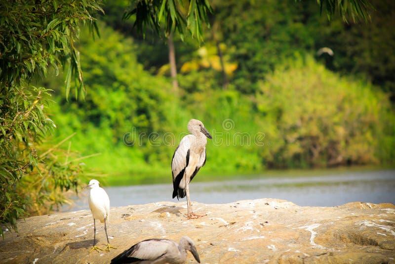 Птица Ibis стоковая фотография