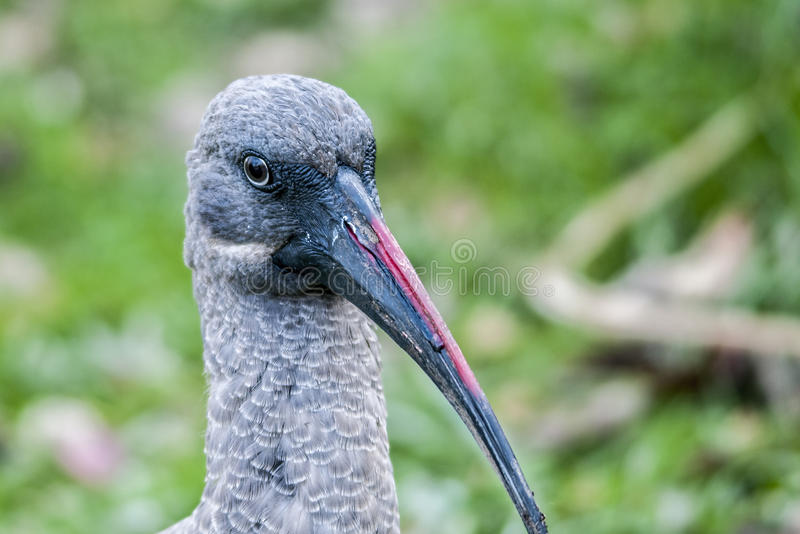 Птица ibis hadada фотографии живой природы африканская стоковое изображение rf