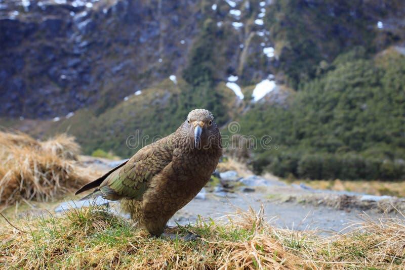 Птица Kea в национальном парке земли фьорда Milford Sound южного острова Новой Зеландии стоковые фотографии rf